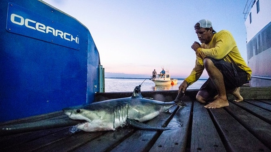 In this Aug. 28, 2016 photo provided by OCEARCH, Capt. Brett McBride kneels beside a juvenile female great white shark named Montauk after researchers tagged and sampled her off the point of Montauk, N.Y.