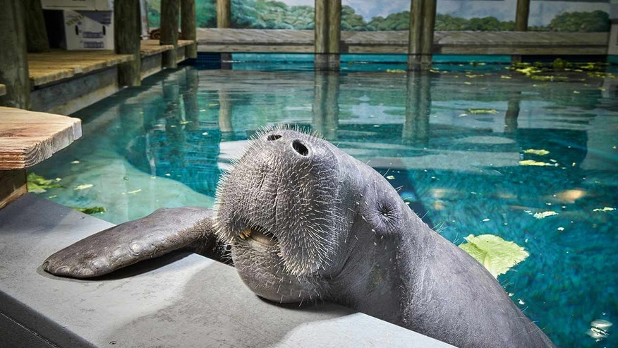Sixty-eight-year-old Snooty is the oldest manatee living in captivity.