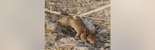 In this Feb. 19, 2016, photo, one of the 14 African giant pouched rats brought from Africa to detect one of the world���s most heavily mined countries through their incredible sense of smell, works in Trach, Cambodia.