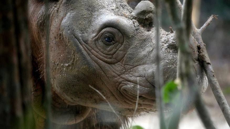 An 8-year-old male Sumatran rhino named Harapan (hope) walks inside a cage at Way Kambas National Park on Sumatra Island Indonesia, Thursday, Nov 5, 2015. (AP Photo/Tatan Syuflana)