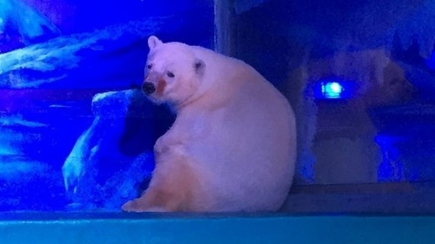 A polar bear at the Grandview Aquarium (Animals Asia)