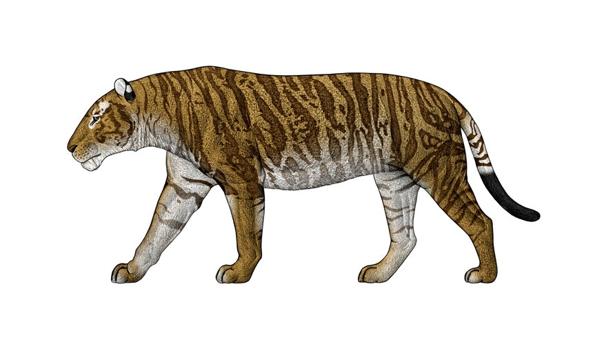 The biggest of the sabertooth cats, Machairodus horribilis, combined its lengthy canines with size and strength.
