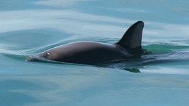 Vaquita. Photo: NOAA Fisheries.