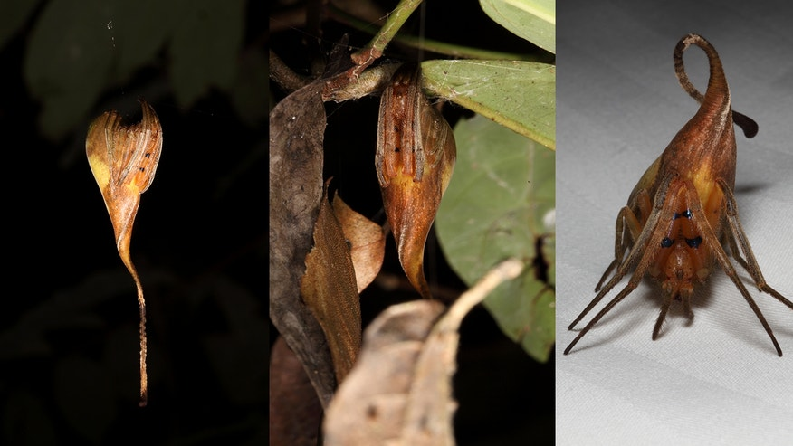 A newfound and rare spider species found in China is the only spider that masquerades as a leaf.