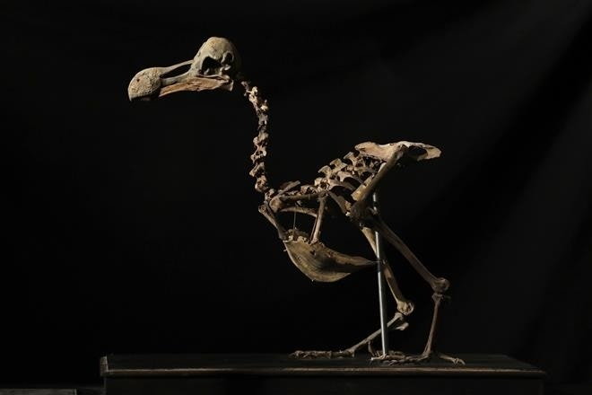 In first since 1914, 'extremely rare' dodo skeleton sold