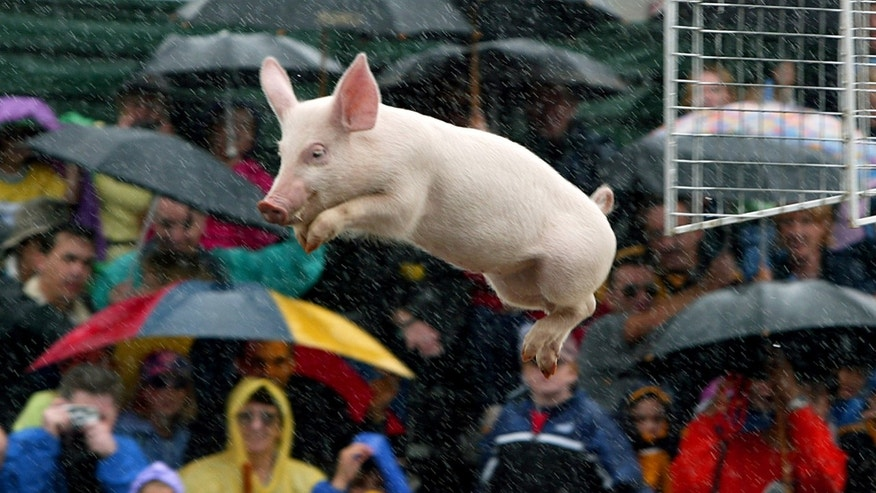 A crowd watches as a pig named 'Babe' dives into a pool of water during a peformance at Sydney's Royal Easter Show April 17, 2003.