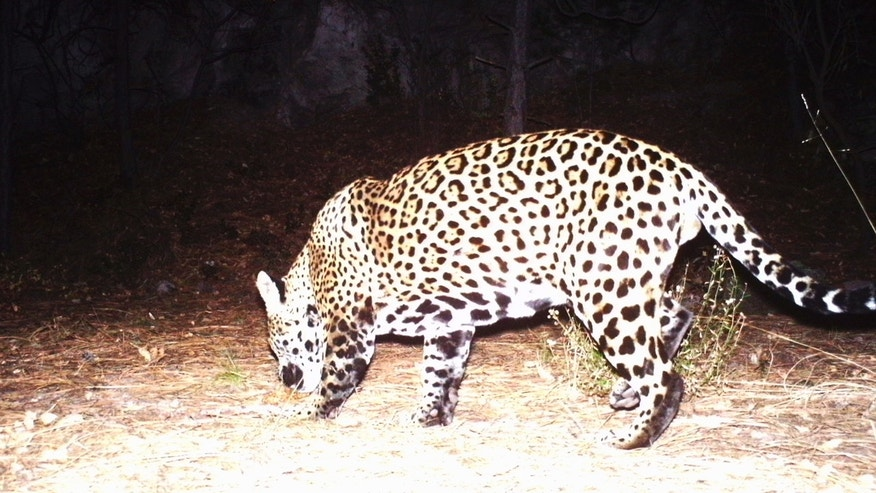 This Dec. 1, 2016 video image provided by Fort Huachuca shows a photo of a wild jaguar in southern Arizona.