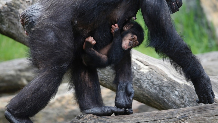 A baby chimpanzee named Liwali hangs onto his mother Lisa as they arrive in their enclosure for a Christmas-themed feeding time at Sydney's Taronga Park Zoo, December 9, 2014.