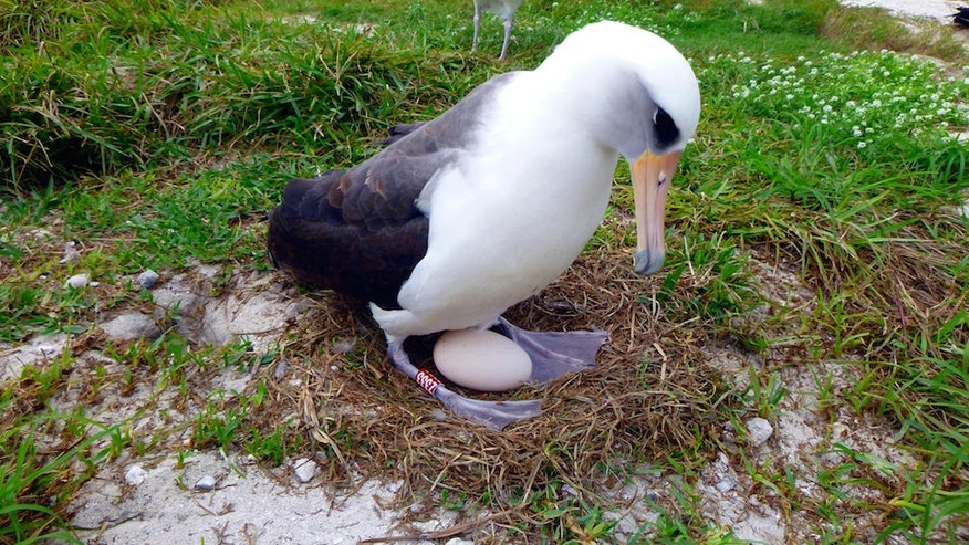A Laysan albatross known as Wisdom incubates her egg on Midway Atoll National Wildlife Refuge, located in the Pacific Ocean about 1,400 miles northwest of Hawaii.