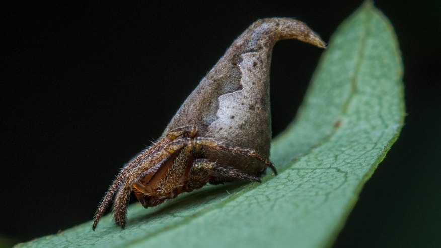New spider looks remarkably like the sorting hat of 'Harry Potter' fame