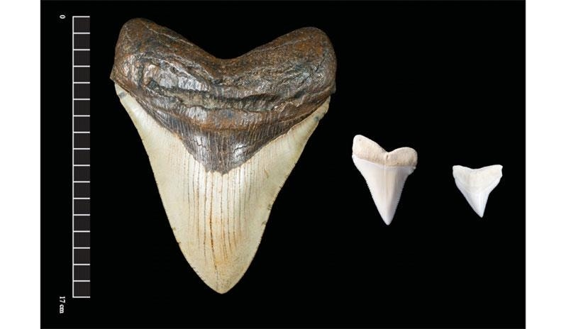 Giant megalodon shark teeth may have inspired Mayan monster myths