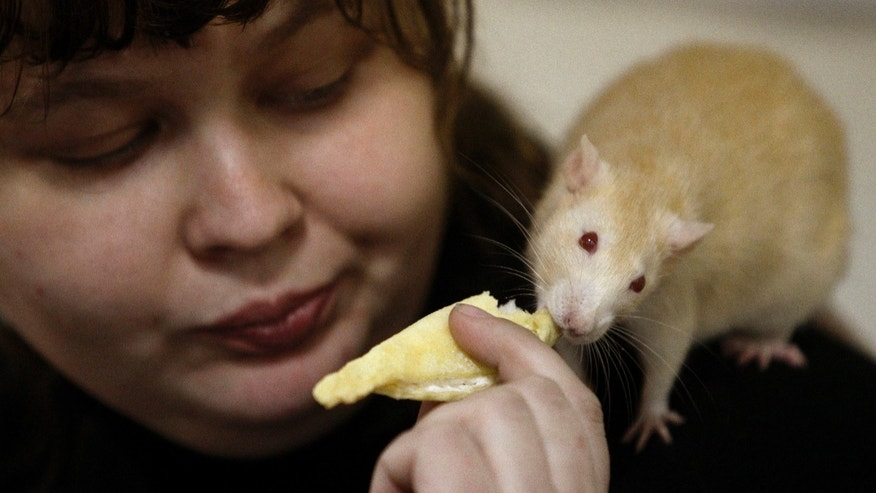 "File photo - A woman feeds a rat on her shoulder during the international exhibition of rodents ""Autumn Footprints - 2013"" in Minsk Nov. 16, 2013. (REUTERS/Vasily Fedosenko)"