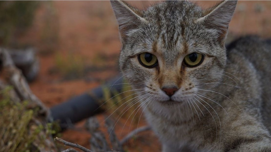 Pretty deadly: Feral cats have contributed to the extinction of dozens of Australian mammal species.