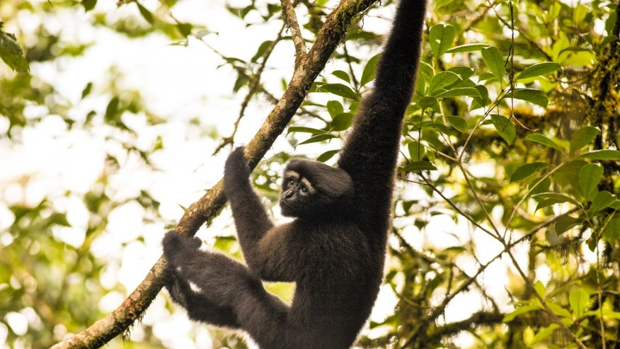 http://a57.foxnews.com/images.foxnews.com/content/fox-news/science/2017/01/11/scientists-claim-new-gibbon-species-name-it-skywalker/_jcr_content/par/featured-media/media-0.img.jpg/876/493/1484161418714.jpg