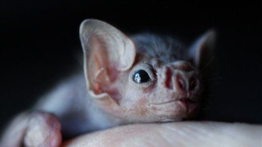 In this 2002 file photo, a white-winged vampire bat pup is seen.  (AP Photo/Jake Schoellkopf, File)