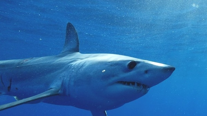 A mako shark, similar to the one pictured above, has been tagged and tracked by researchers who discovered that it has traveled nearly 13,000 miles in less than two years.