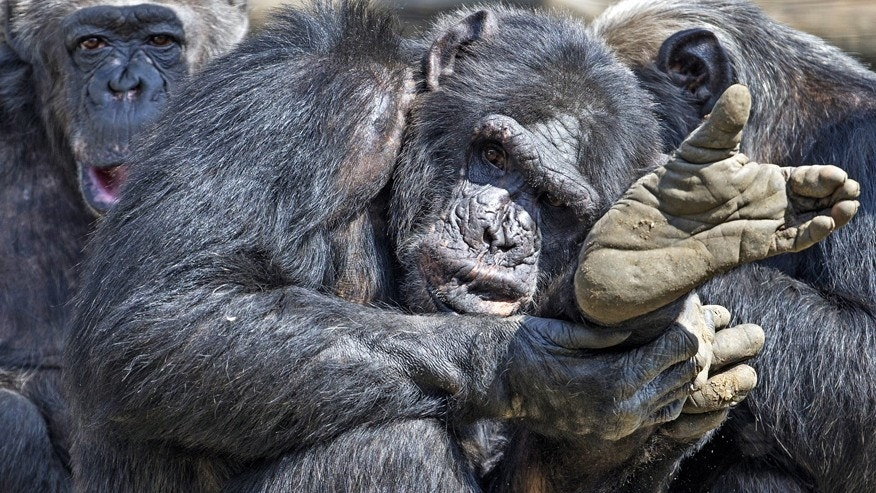 File photo: Chimpanzees gather together in their compound at the Olmense Zoo in Olmen, Belgium, April 16, 2015. (REUTERS/Yves Herman/File photo)
