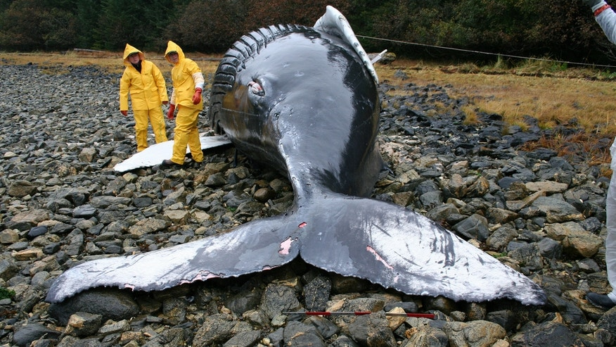 Veterinarians assist during the necropsy of a humpback whale calf that was stranded on Baranof Island, Alaska. (Alicia Jensen/NOAA/NMFS/AKFSC via NASA)