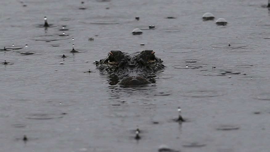 File photo: An alligator floats in a pond under rainy skies on Kiawah Island, South Carolina, August 8, 2012.