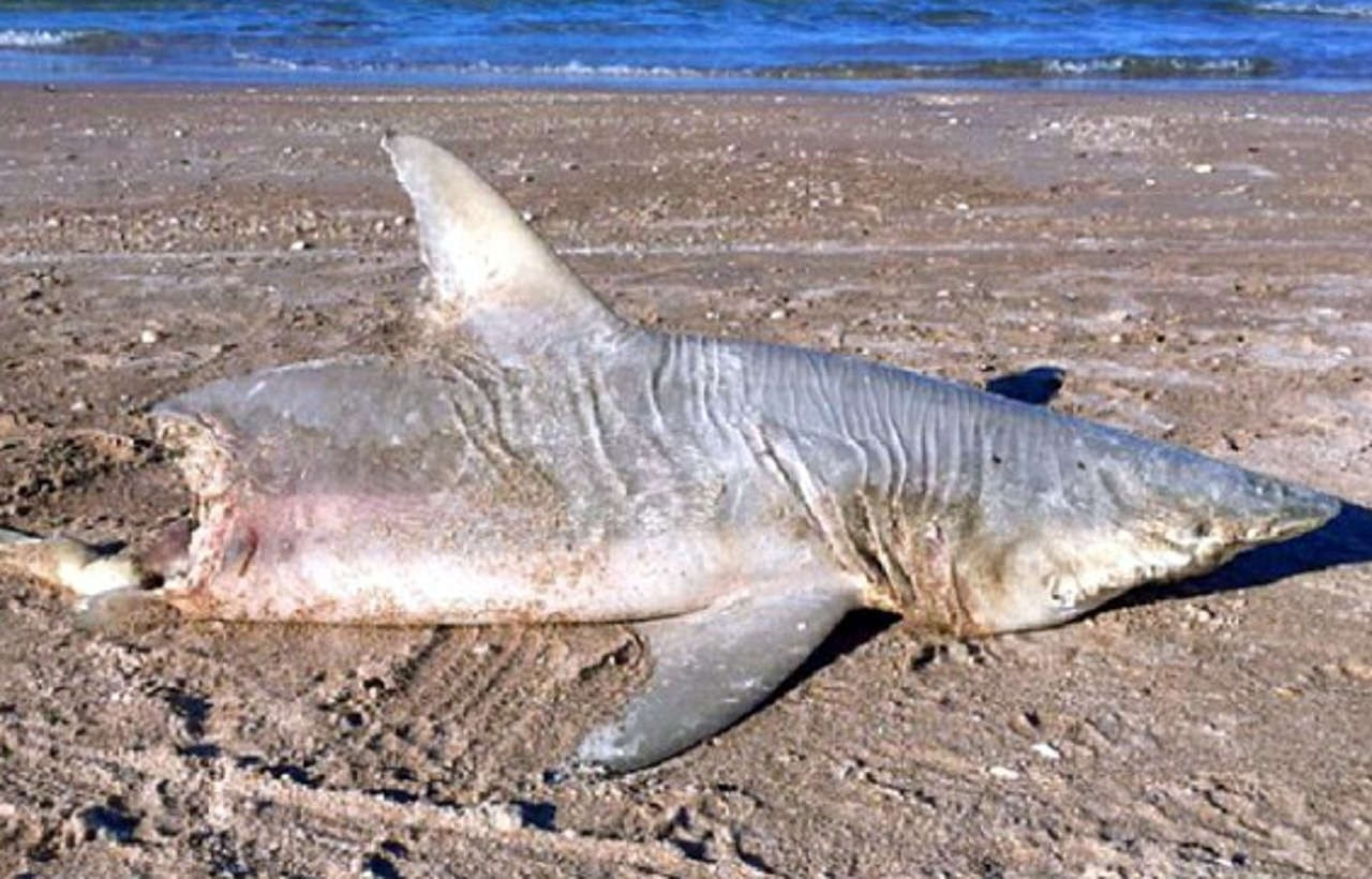 MYSTERY: Half-eaten shark on Florida beach raises speculation about what killed it