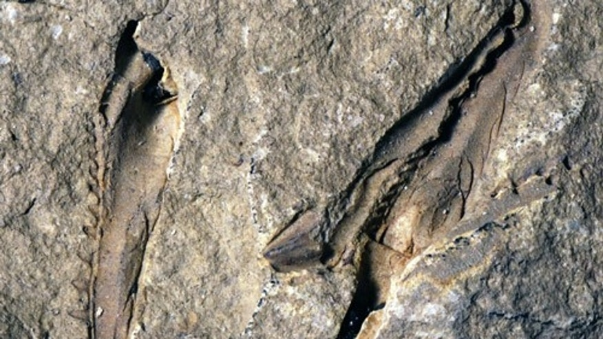 Fossil of 'monster' worm with snapping jaws discovered