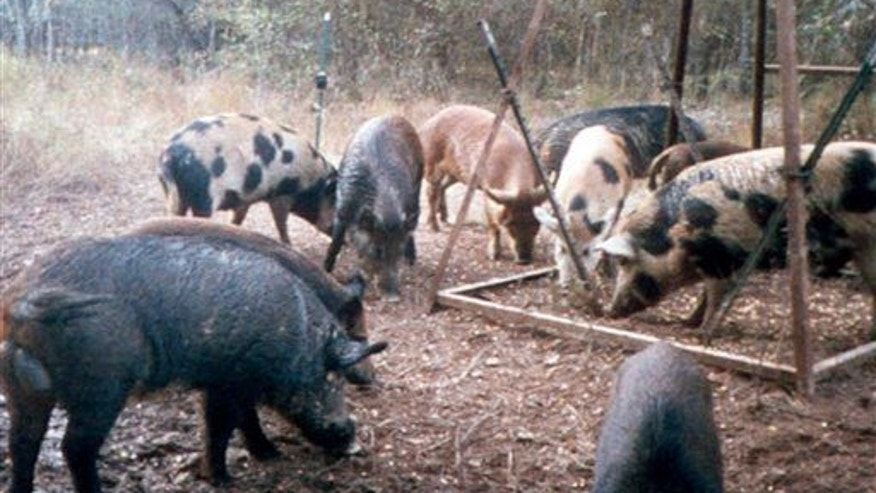This photo shows feral hogs eating corn at a deer feeder near Overton, Texas.