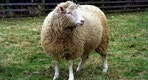 20 years after Dolly the sheep, what have we learned about cloning?