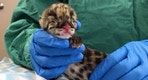 This Wednesday, March 1, 2017 photo shows a rare clouded leopard cub at the Nashville Zoo in Nashville, Tenn. Zoo officials say the cub was the first clouded leopard to be conceived through artificial insemination with cryopreserved sperm. (AP Photo/Sheila Burke)