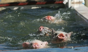 It wasn't booze that killed the famous swimming pigs