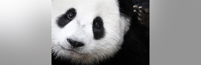 Mystery solved: why pandas are black and white