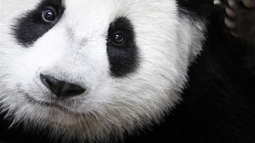 Mystery solved: why pandas are black and white | Fox News