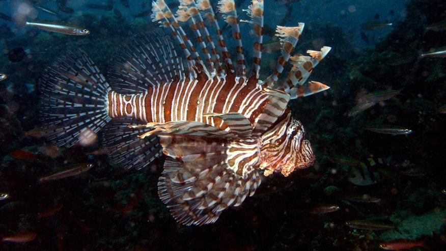 A lionfish (<em>Pterois volitans</em>) cruises near Fiji in this 2008 image.