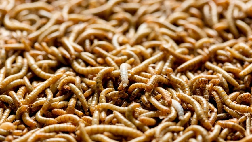File photo: Mealworms used for human consumption are seen at the Kreca breeding facility in Ermelo April 4, 2014. (REUTERS/Michael Kooren)