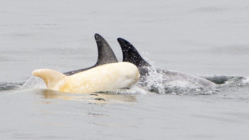 This albino Risso's dolphin was spotted near Moss Landing in California on June 7, 2017 by Blue Ocean Whale Watch.