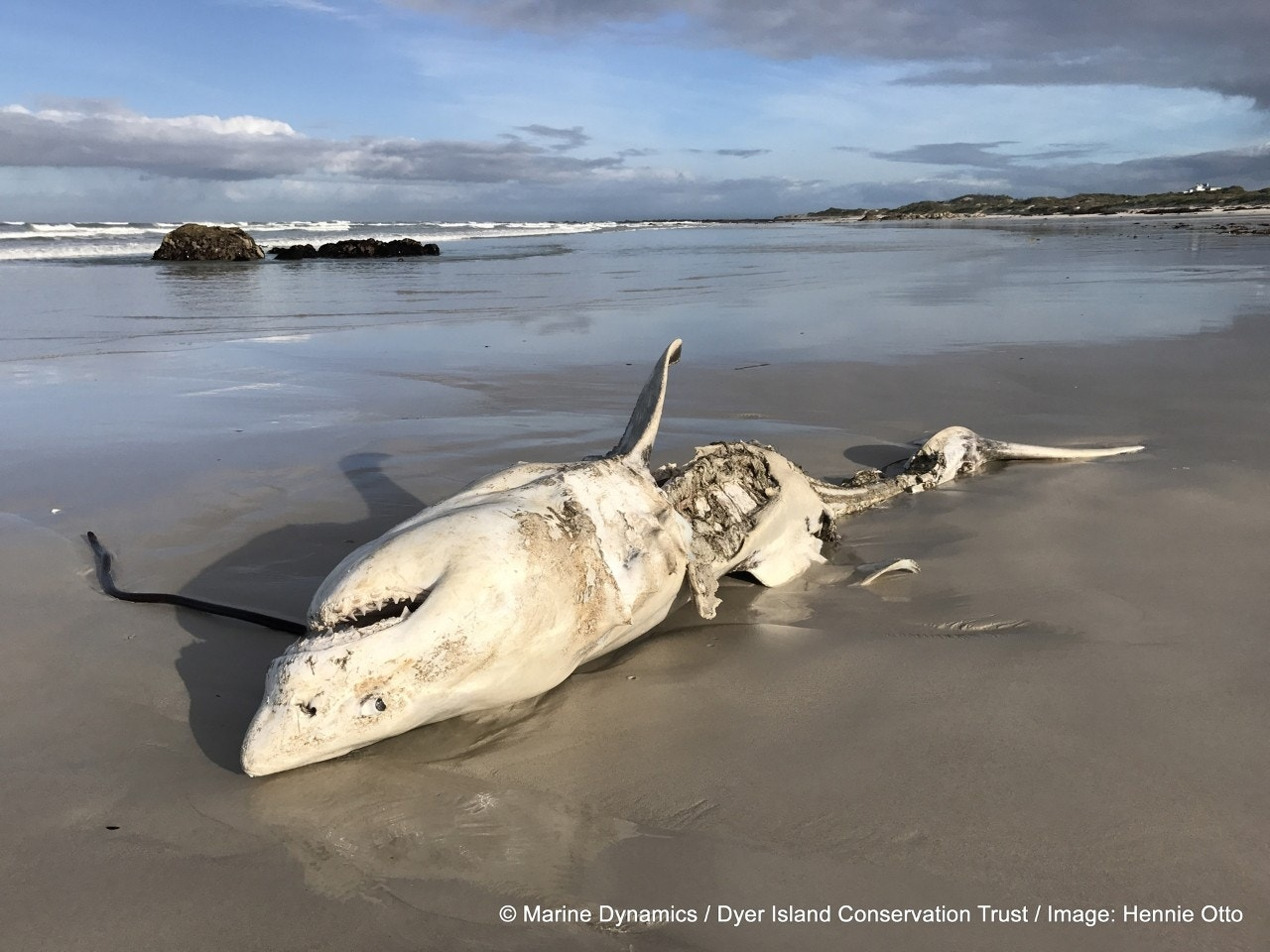 Shock as eviscerated great white shark washes up 'with liver surgically removed' by killer whales