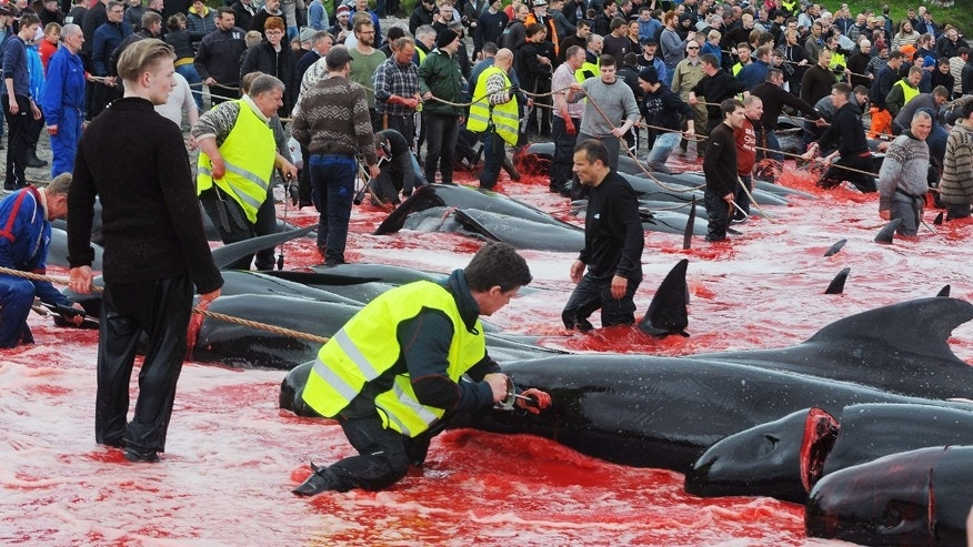 Faroe Islands whale hunt on June 16, 2017 (ANDRIJA ILIC/Sipa Press)