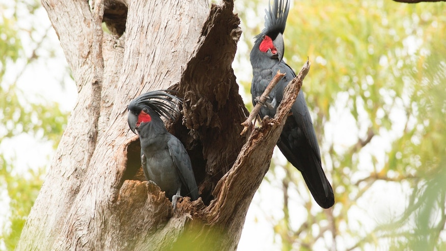 A male palm cockatoo (right) uses a stick to drum while it courts a female.