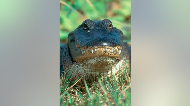 An American Alligator is shown standing in an alert post in the Arthur R. Marshall Loxahatchee National Wildlife Refuge in Palm Beach County, Florida in this U.S. Fish and Wildlife Service photo released on August 14, 2014. Wildlife officials on Friday will open a Florida nature preserve for the first time to a handful of alligator hunters who waited more than a decade to stalk the large reptiles in the Everglades.  REUTERS/U.S. Fish and Wildlife Service/Handout  (UNITED STATES - Tags: ANIMALS ENVIRONMENT SPORT) FOR EDITORIAL USE ONLY. NOT FOR SALE FOR MARKETING OR ADVERTISING CAMPAIGNS. THIS IMAGE HAS BEEN SUPPLIED BY A THIRD PARTY. IT IS DISTRIBUTED, EXACTLY AS RECEIVED BY REUTERS, AS A SERVICE TO CLIENTS - RTR42HGE