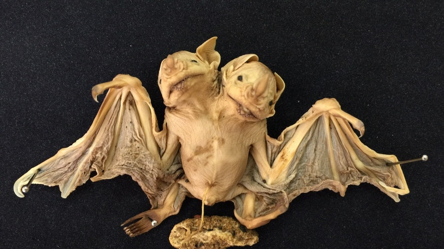 These conjoined bat twins, found under a mango tree in southeastern Brazil in 2001, were either stillborn or died shortly after birth.