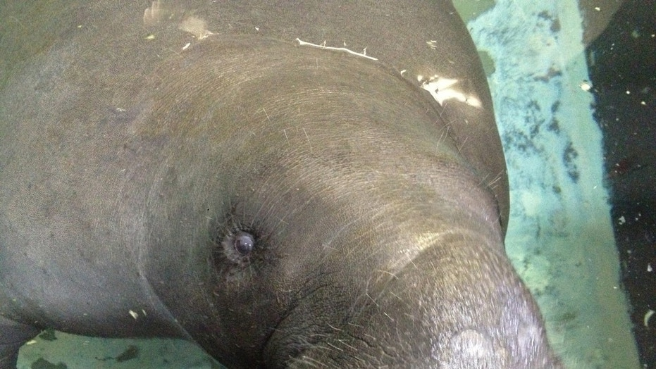 FILE - In this Wednesday, July 17, 2013, file photo, Snooty the manatee lifts his snout out of the water at the South Florida Museum in Bradenton, Fla.  (AP Photo/Tamara Lush, File)