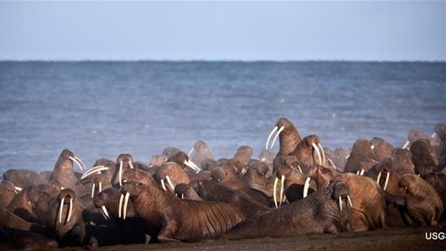 Walruses gather to rest on the shores of the Chukchi Sea near the coastal village of Point Lay, Alaska, in 2013.