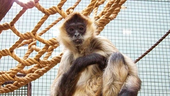 This undated photo provided by the Seneca Park Zoo Society on Friday, Sept. 1, 2017, shows a spider monkey named Spiderman who died of terminal cancer at the Seneca Park Zoo in Rochester, N.Y.  At 43-years-old, Spiderman was among the oldest spider monkeys in conservation care.  (Seneca Park Zoo Society via AP)