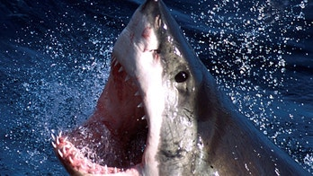 - An undated photo  - of a Great White shark which can now be repelled by a electronic shark shield. An Australian firm unveiled on March 27, 2002 an electronic shark repellant unit which when attached to swimmers legs, emits an electronic field to