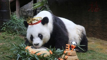 Basi, the oldest captive giant panda alive, eats a cake as people celebrate its 37 birthday, in Fuzhou, Fujian province, China, January 18, 2017. China Daily/via REUTERS ATTENTION EDITORS - THIS IMAGE WAS PROVIDED BY A THIRD PARTY. EDITORIAL USE ONLY. CHINA OUT. NO COMMERCIAL OR EDITORIAL SALES IN CHINA.         TPX IMAGES OF THE DAY - RC1B6259E900