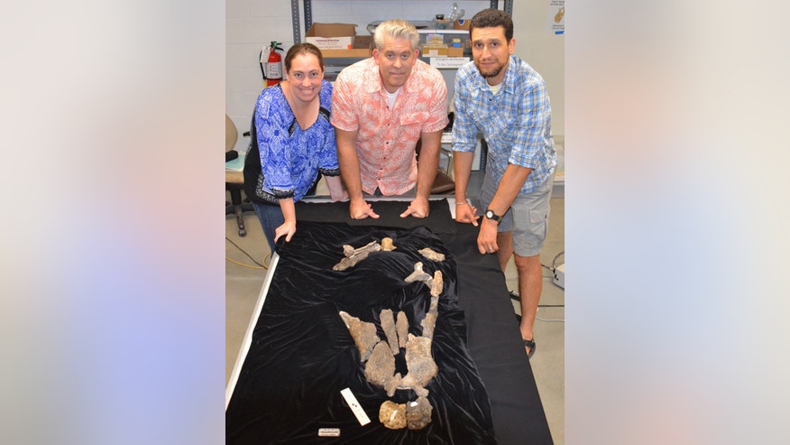 From left, Stephanie Drumheller-Horton, faculty member in UT's Department of Earth and Planetary Sciences; Thomas Adams of the Witte Museum; and Christopher Noto of the University of Wisconsin-Parkside with the skull elements of the new fossil crocodilian Deltasuchus motherali. (Credit: University of Tennessee at Knoxville)