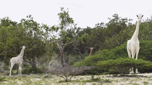 Gorgeous, majestic white giraffes spotted, captured on video for first time ever
