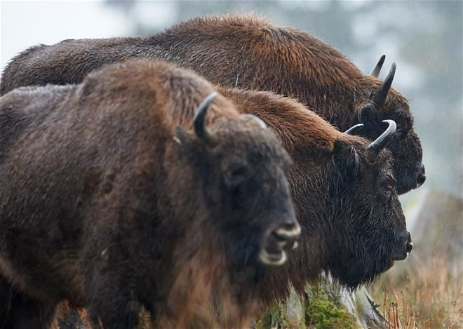 After 250 years, Germany finally sees a bison. It's immediately killed