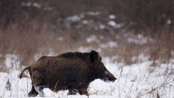 "A wild boar runs in the 30 km (18 miles) exclusion zone around the Chernobyl nuclear reactor near the village of Babchin, some 370 km (217 miles) southeast of Minsk, January 9, 2009. Still inhospitable to humans, the Chernobyl ""exclusion zone"" -- a contaminated 30-km radius around the site of the nuclear reactor explosion of April 26, 1986 -- is now a nature reserve and teems with wolves, moose, bison, wild boars and bears. Picture taken January 9, 2009.  To match WITNESS/BELARUS-CHERNOBYL    REUTERS/Vasily Fedosenko (BELARUS) - GM1E5350LST01"