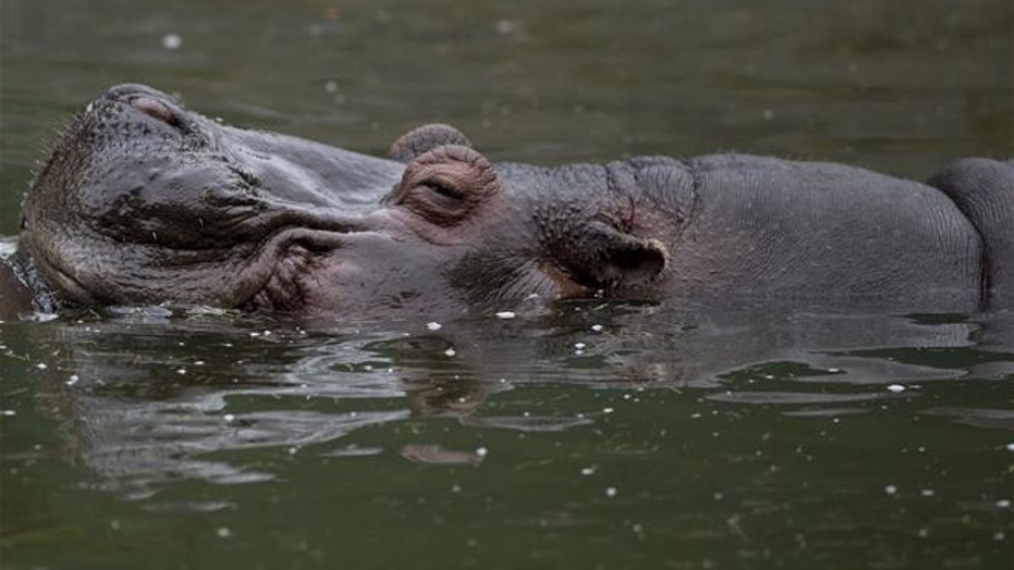 A hippo swims inside the former Buenos Aires Zoo in Argentina, on July 1, 2016.
