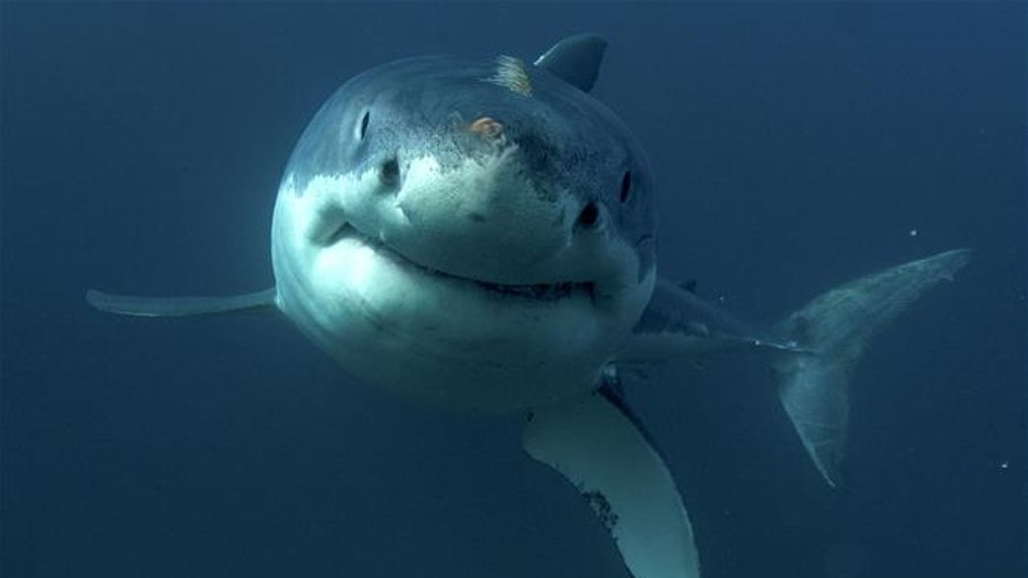 This undated image released by Discovery Channel shows a great white shark.